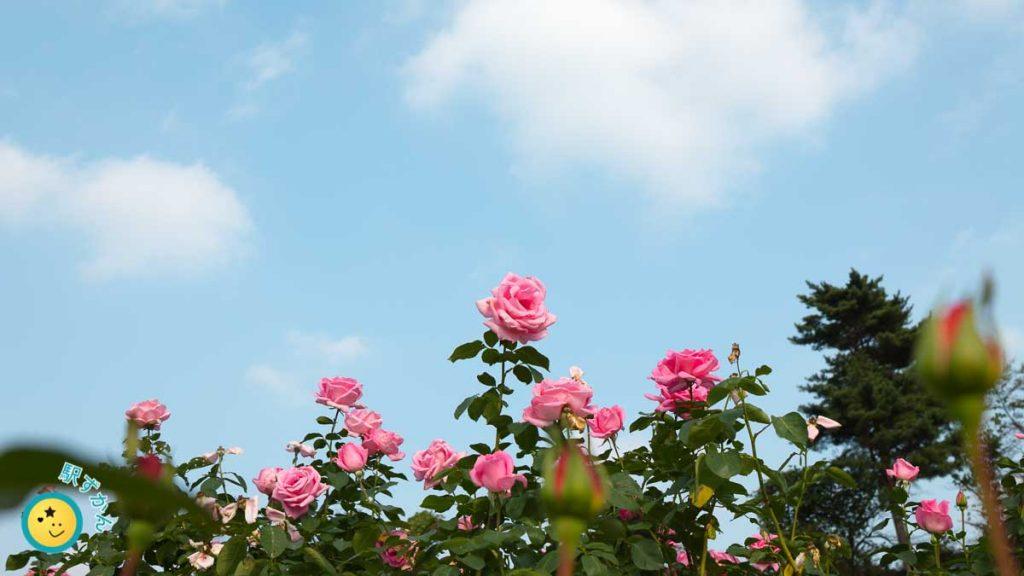 生田緑地ばら苑で撮影のバラ