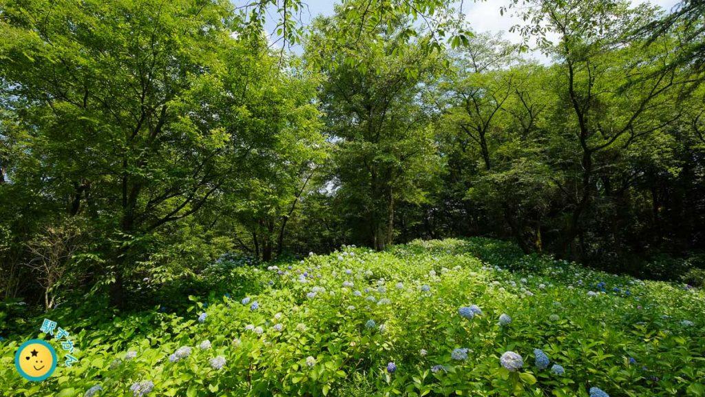 生田緑地あじさい山