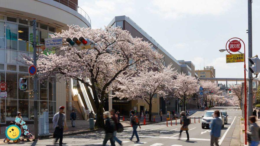 たまプラーザ桜並木